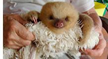 Baby sloth at Paradise Gardens