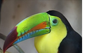 Toucan at Paradise Gardens in Boquete Panama